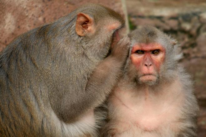 Cutting Calories Will Not Prolong Life in Monkeys
