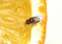 Fruit Fly Research to Inspire Drugs for Diabetes, Weight Loss